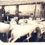 Gregge pecore 1950